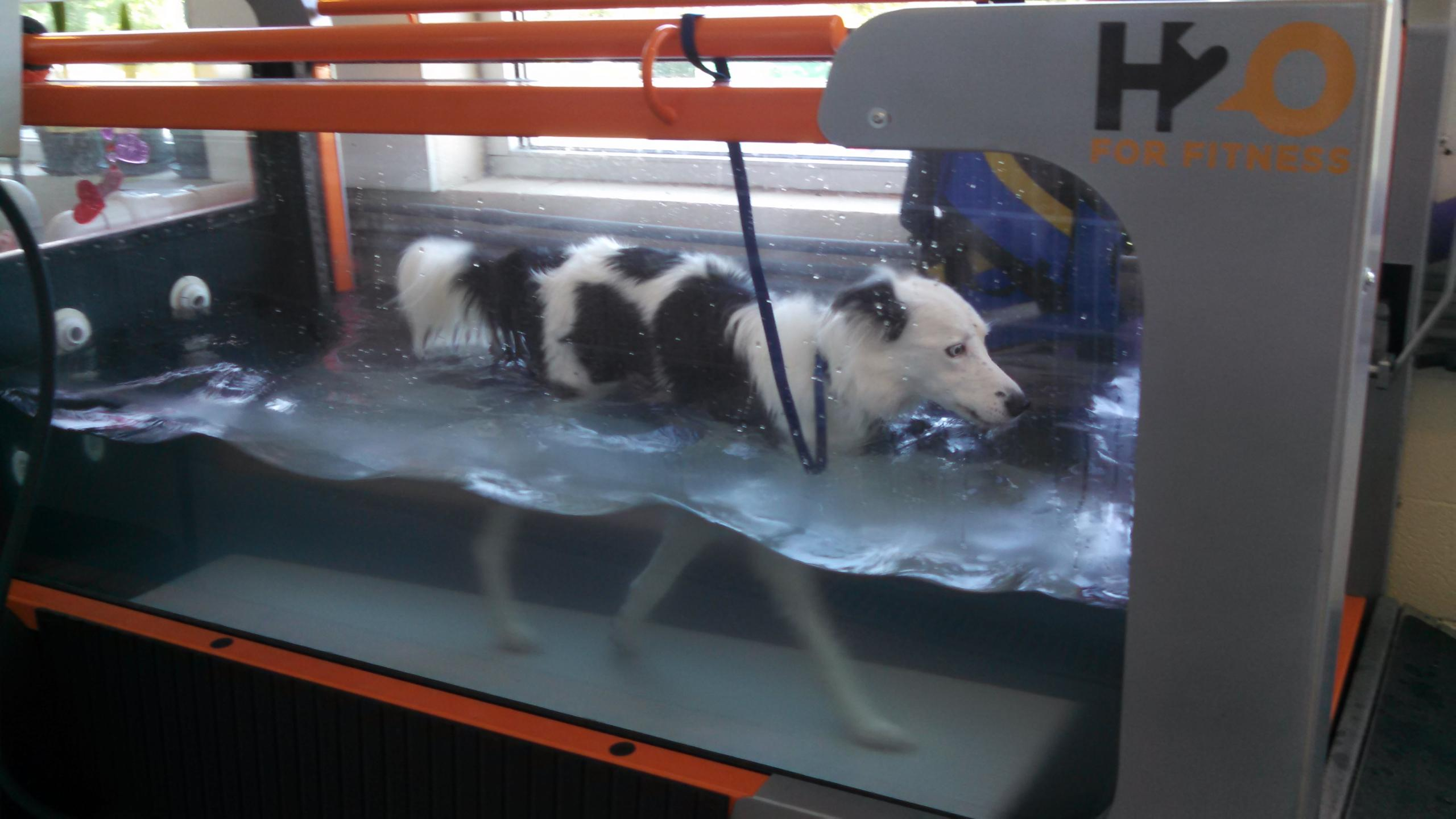 Border collie receiving underwater treadmill rehabilitation therapy