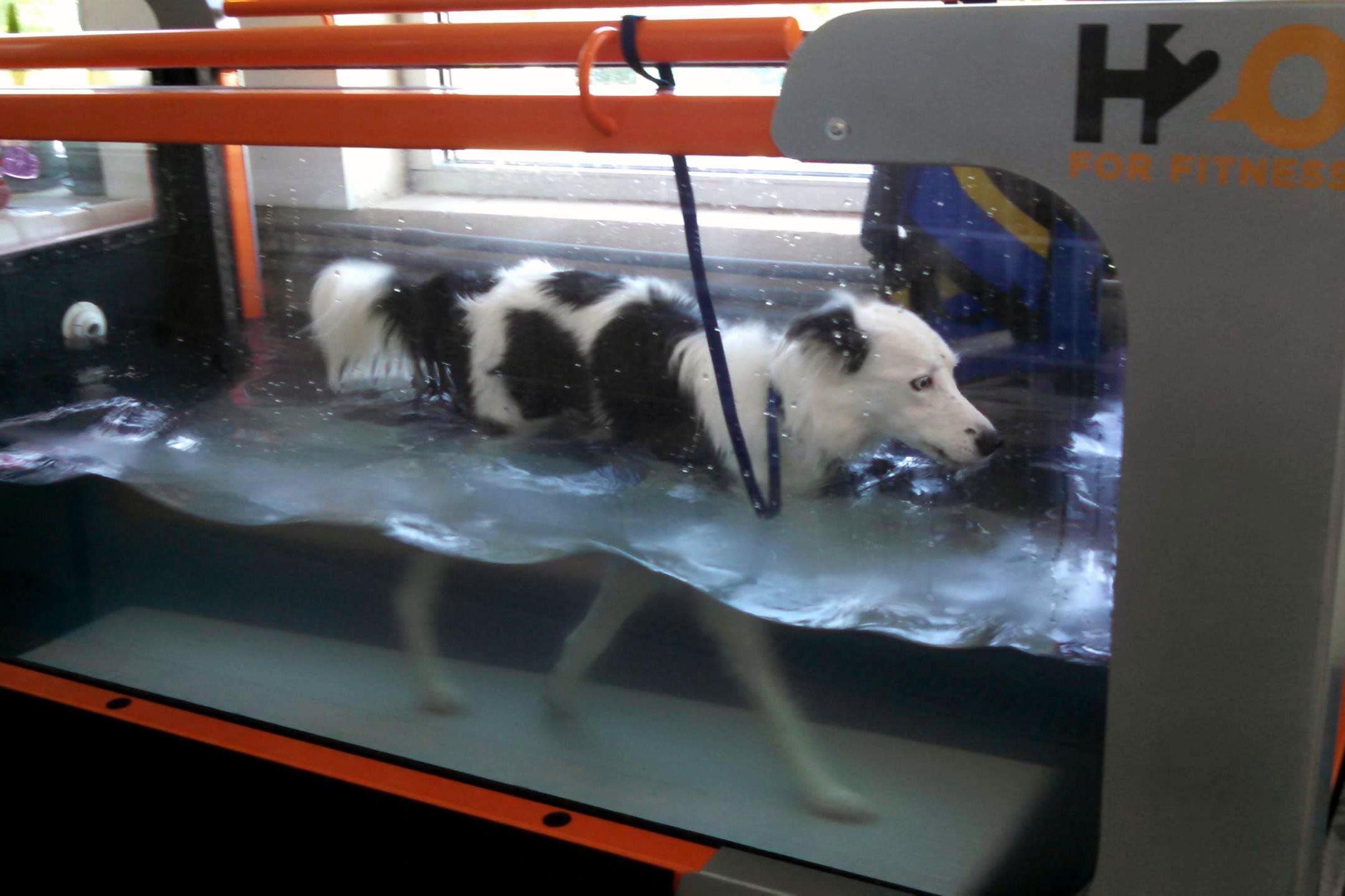 Jess the border collie in the underwater treadmill
