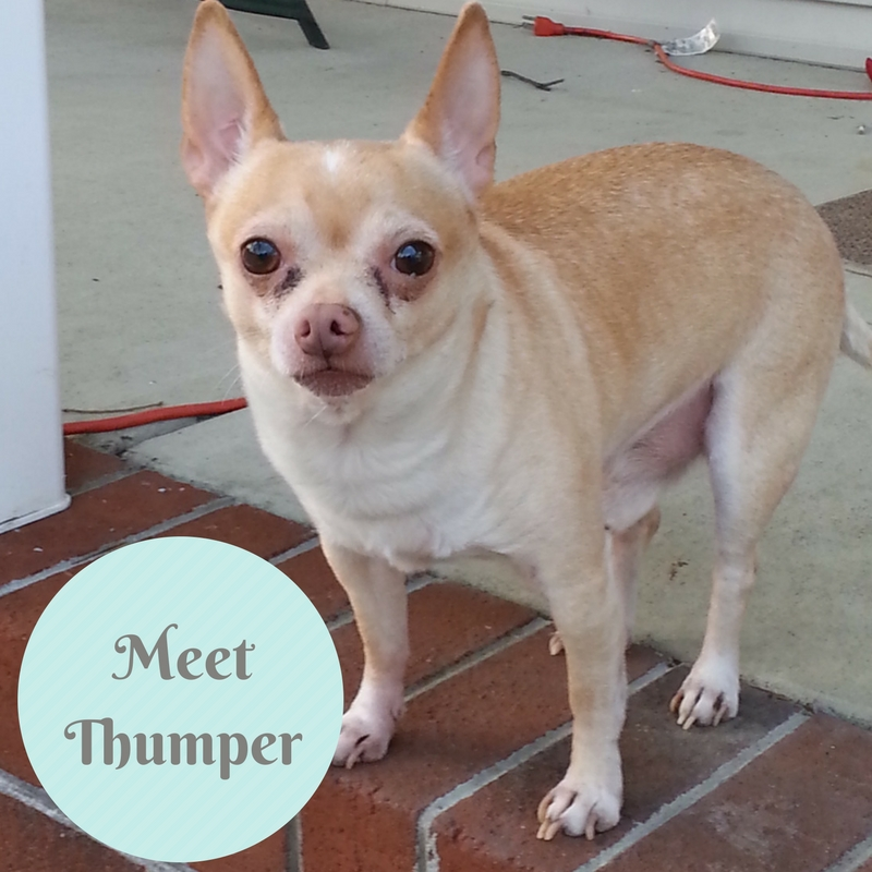 Thumper, the chihuahua who had a tracheal stent placed to treat collapsing trachea